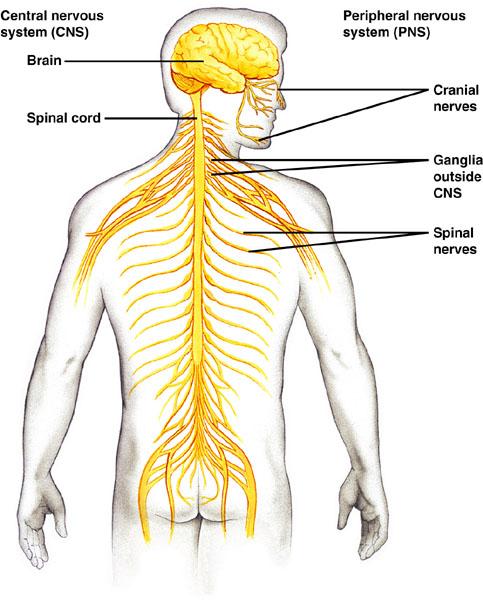 48.1: Nervous System—Part 1